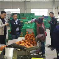 KL-350X沃柑臍橙自動包裝機