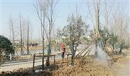 江苏省滨海县城管局补植城区行道树 改善城市生态环境